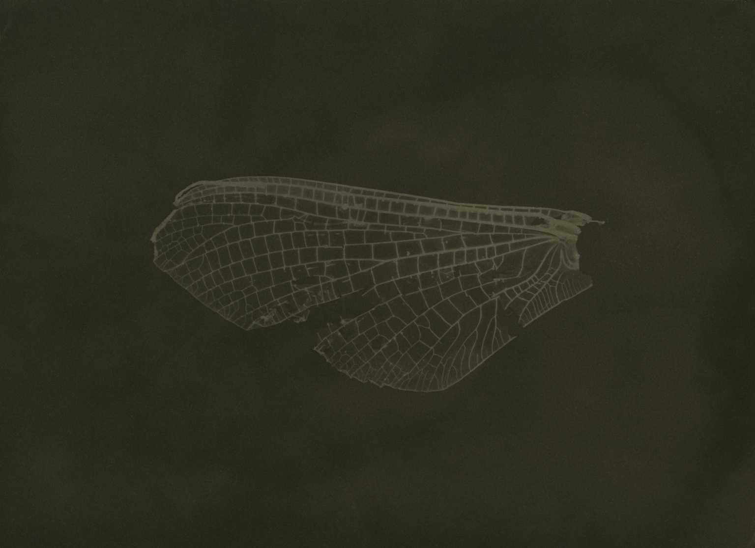 Mayfly Wing